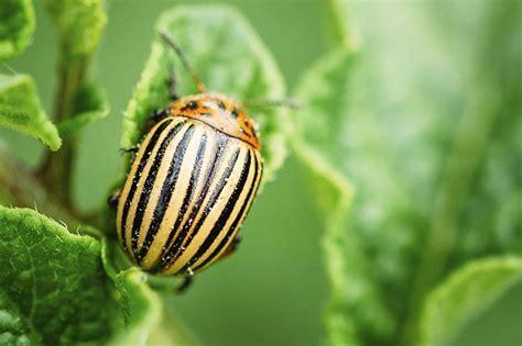 Colorado Potato Beetle Facts, Habitat, Diet, Life Cycle ...