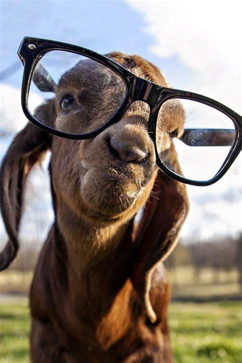 theze    nerds    cool cute goats