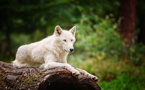 Animal Jam Arctic Wolf Wallpaper - animal jam arctic wolf wallpaper 70 images