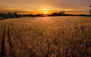 Wheat Field Sunset Forest wallpapers   Wheat Field Sunset ...