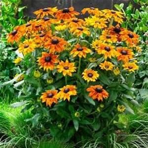 Sonnenhut Pflanze Kaufen : sonnenhut online kaufen bei g rtner p tschke ~ Buech-reservation.com Haus und Dekorationen
