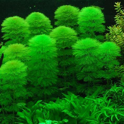 green foxtail aquarium plant limnophila aquatica quot green quot