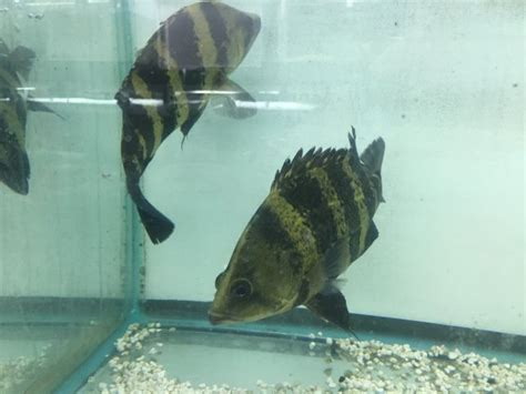 aquascape belleville nj ngt datnoides cbelli monsterfishkeepers