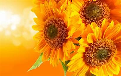 Sunflower Resolution Widescreen 1080p Title Wallpapers
