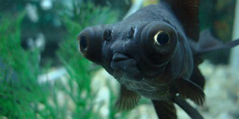 black moor goldfish desktop goldfish