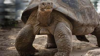 Giant Tortoises Tortoise Galapagos Meet Pond Enlarge