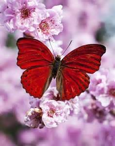 Butterflies On Red Blossoms