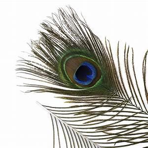 """Peacock Feather Eyes Natural - 8-15""""- 2pcs - Natural ..."""