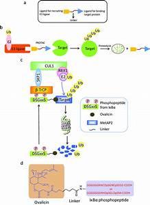 Schematic Diagram Of Protac  A  A Protac Molecule Consists