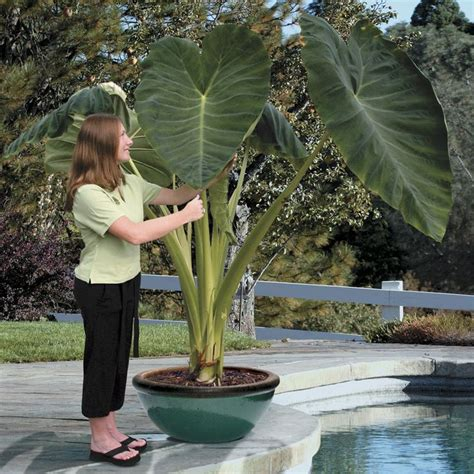 alocasia odora kaufen 29 best fl elephant ears and large leaf plants images on
