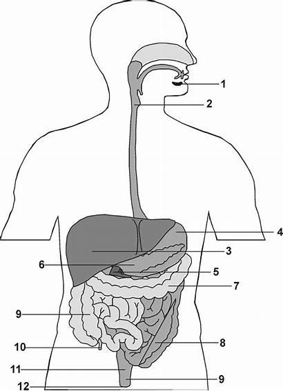 Digestive System Diagram Organ Human Unlabeled Liver