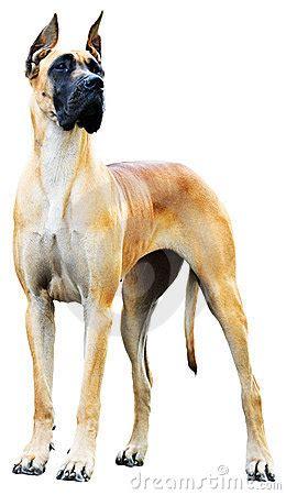 great dane dog royalty  stock  image