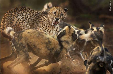 wildlife photographer   year die besten tierbilder