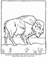 Coloring Buffalo Zoo Animal Animals Sheet Bison Printable Wild Drawing Drawings Printing sketch template