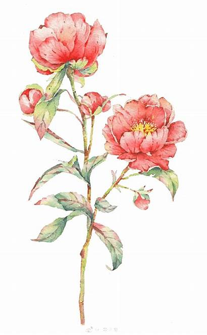 Watercolor Flowers Roses Illustration Painting Pink Flower