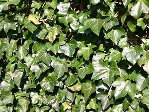 Efeu Pflanzen Kaufen : efeu pflanzen winterharte efeu pflanze 39 baltica 39 3 ~ Michelbontemps.com Haus und Dekorationen