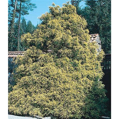 lowes cypress shop 1 5 quart insignificant gold thread false cypress l5169 at lowes com
