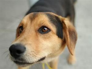 Beagle Mixes - Dog Training Home | Dog Types