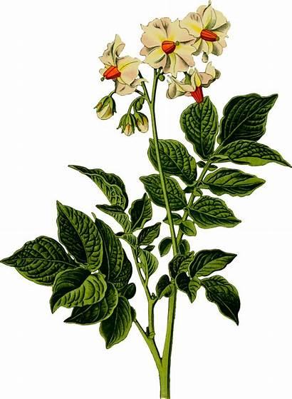 Plant Potato Clipart Vector Flowers Aesthetic Transparent