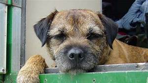 Adrival Border Terriers