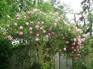 Rosier Grimpant Remontant : rosier liane remontant trouvez le meilleur prix sur voir ~ Melissatoandfro.com Idées de Décoration