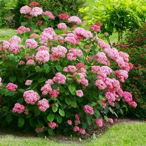 Kokveida hortenzijas | Lazdkalni.lv