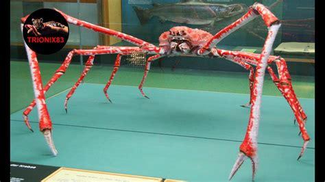 cangrejo arana gigante japones cangrejo gigante