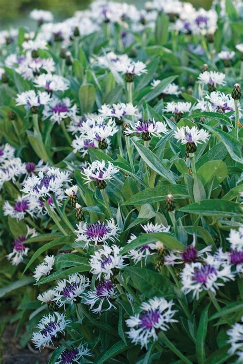 purple white flower centaurea amethyst  snow rozanne