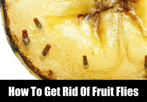 How To Get Rid Of Fruit Flies Fast Kitchensanity