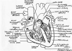 Heart Diagram Labeled Black And White