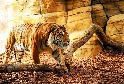Tiger Wallpapers Desktop Backgrounds Definiton Allhdwallpapers