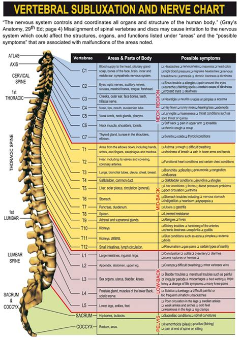 nerve system chart top chiropractor nyc