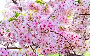 magnolia flowers 500 hoa đẹp ảnh những loài hoa đẹp nhất