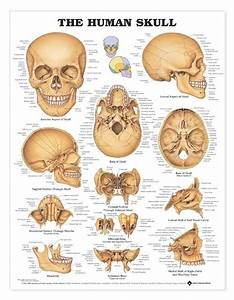 49 Best Drawing Tutorials  The Human Skeleton System