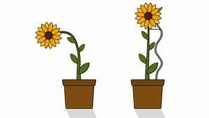 growing sunflower clipart - Jaxstorm.realverse.us