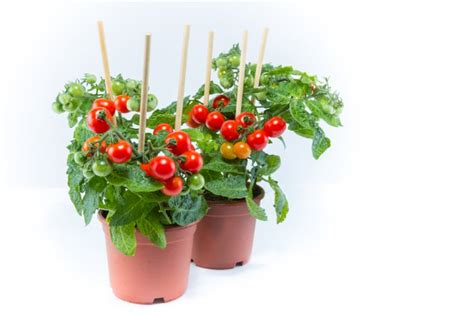 coltivazione pomodori in vaso coltivare i pomodori ciliegini con facilit 224 donnad