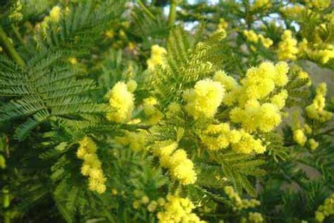Acacia Dealbata Gaulois Astier Mimosa Recipe