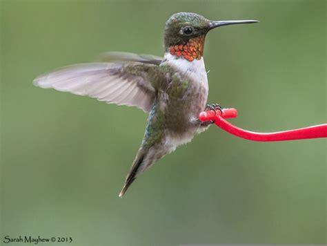 when do hummingbirds migrate hummingbird migration citizen scientists track hummingbird migration with journey north