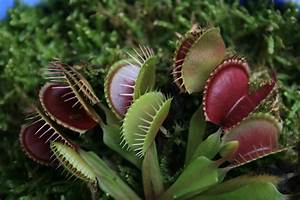 Carnivorous Plants – WEGO Mountain Program