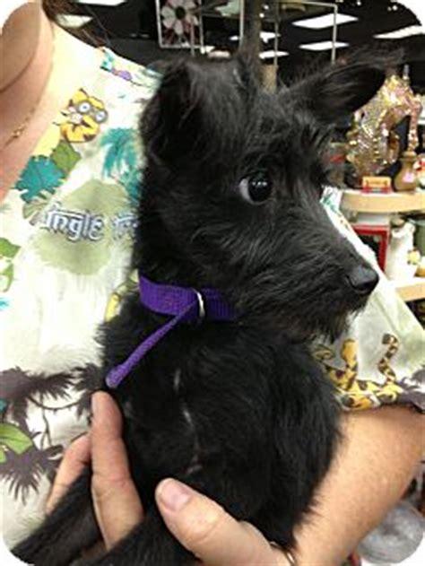 sandy adopted puppy ogden ut miniature schnauzer
