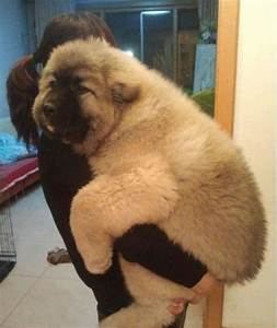 Big Fluffy Dogs