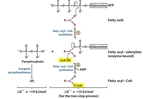 Catabolism Of Fatty Acids At University Of Alberta