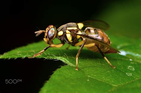 https://500px.com/photo/121326903/the-olive-fruit-fly-bactrocera-oleae-dacus-oleae-by-donn-gabriel-garcia