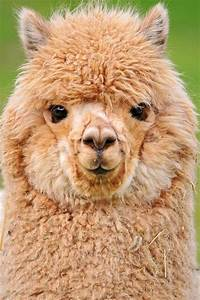 Alpaca   Wooly Friends   Pinterest