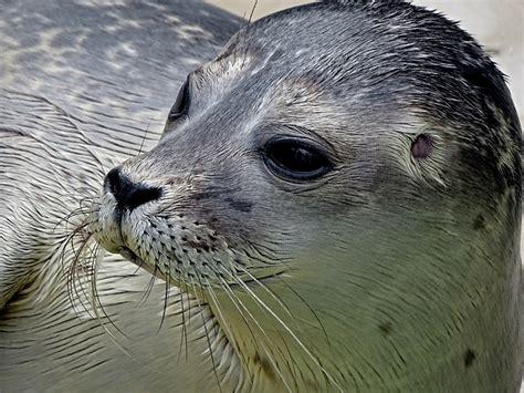 robbe seal small  photo  pixabay