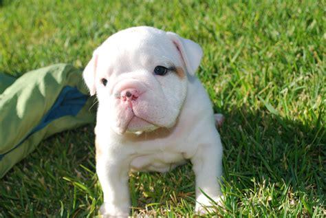 White English Bulldog On The Grass Photo And Wallpaper
