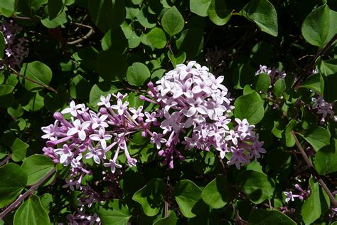 small lilac bush varieties what is a dwarf lilac tree types of dwarf lilacs for the landscape