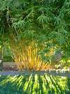 33 best images about Clumping Bamboo on Pinterest | Hedges clumping bamboo garden