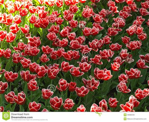 bright red l shade tulips in the shade stock photo image 30980530