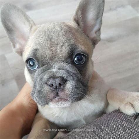 heart    face french bulldog dogs